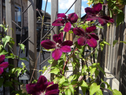 This Clematis Deserves A Medal