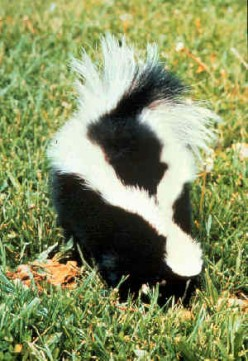 Sent Home from School because of a Skunk