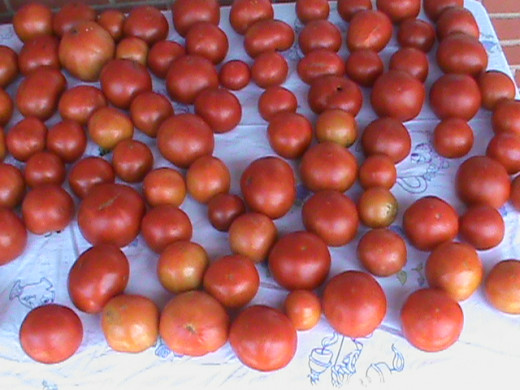 Lots of tomatoes from Family Garden
