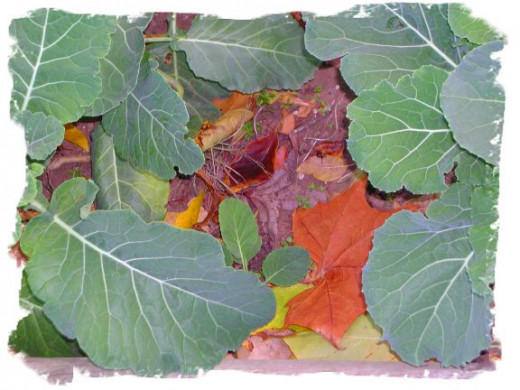 Signs of fall in the garden:  fallen leaves among the collards.