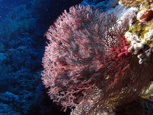 Northern Red Sea - Red gorgonian at Little Brother, Red Sea