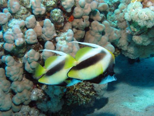 Northern Red Sea -  Bannerfish, Heniochus intermedius at Abu Dabab Reefs, Red Sea, Egypt