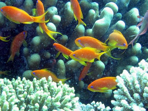 Northern Red Sea coral and marine fish (Anthia_goldfish)