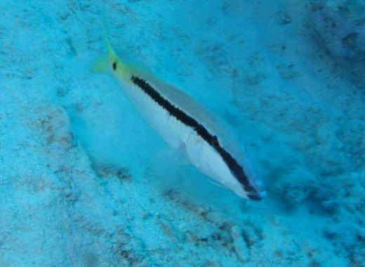 Northern Red Sea - Red Sea Goatfish, Parupeneus forsskali feeding on sandy bottom at Abu Dabab Reefs, Red Sea, Egypt
