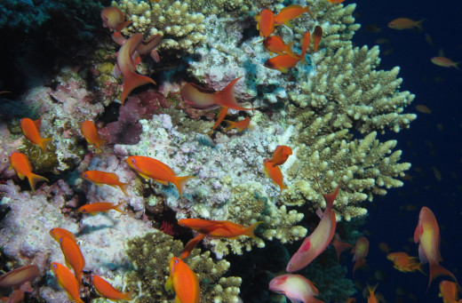 Northern Read Sea - goldies around coral at Little Brother, Red Sea, Egypt