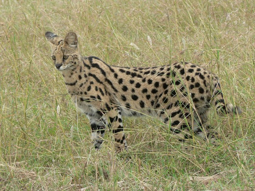 Serval in the wild