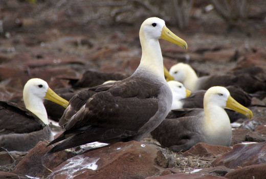 waved albatross Espanola Punta Suarez found on Galapagos Islands