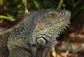 Gwana, my Big Green Iguana