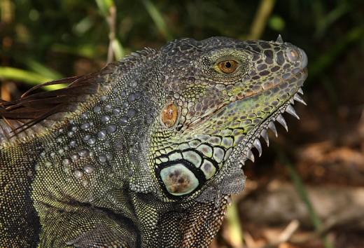 Adult male green iguana.