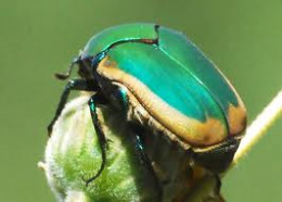 Green fruit beetle ( cotinus mutabilis) from the scarab beetle family