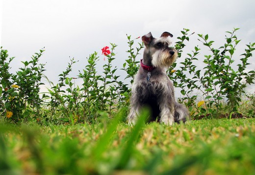 Miniature Schnauzers like to be taken out for walks.