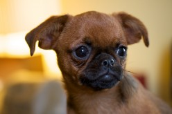 Short-haired Brussels Griffon