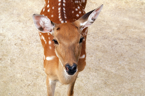 A fawn with its characteristic white spots and reddish-brown coat.