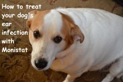 How to Treat Your Dog's Ear Infection with Monistat
