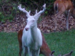 Melanistic Whitetail Deer and Albino Whitetail Deer