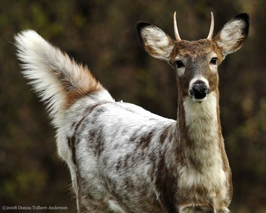 A brown and white piebald deer
