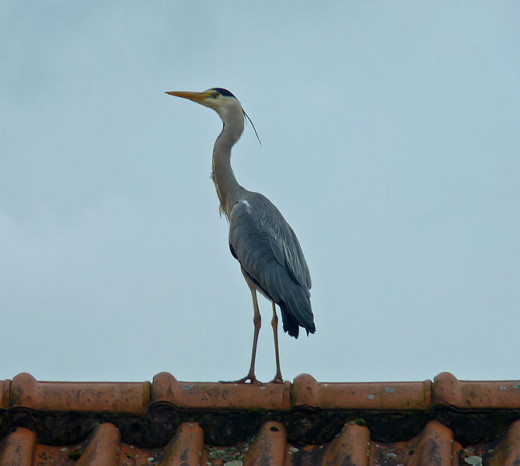 The grey heron is certainly an impressive sight when stood fully upright.