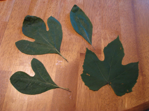 Large leaves to trace.