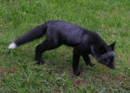 Black fox (photo)