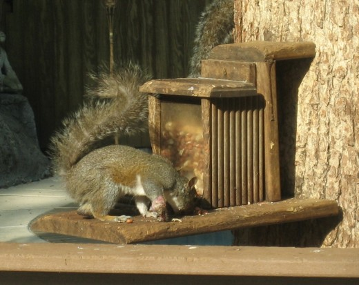 Even injured squirrels have to eat.  This one seems to have smashed his paw somehow.  He has some trouble eating and climbing.