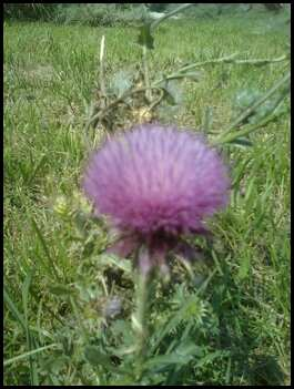 ...and as God is in the Rose, so is He in the Thistle. Photos by Running Hawk