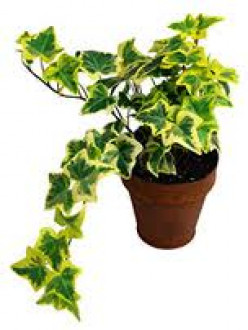 Where's the best place for an English ivy houseplant?
