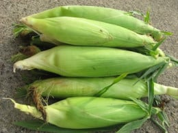 I try to gather many of my craft supplies from nature. When I make corn on the cob for dinner, I always save the corn husks and dry them to make corn dollies.