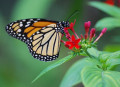 Help Save the Monarch Butterfly - Plant Milkweed