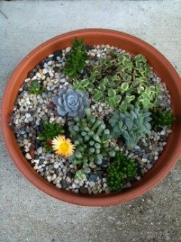 "Succulent Miniature Garden - 6 weeks after planting -  ""baby toes"" in bloom"
