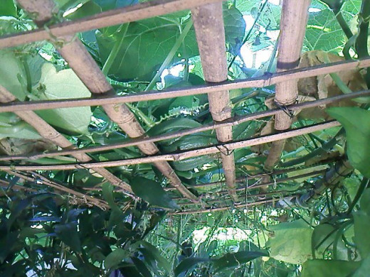 Just a close up look on the bamboo trellis. And see something there? Yes, that's another chayote fruit. Look closer. You'll find it.