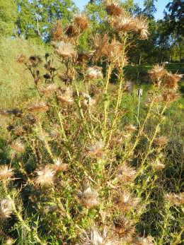 Canada thistle dispersing seed in autumn.