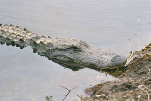 I haven't been lucky enough to see a NC gator - this one was in SC.