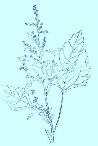 Goosefoot (Chenopodium album)Artwork by ~ Jerilee Wei