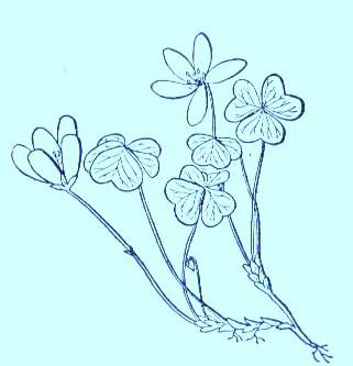 Sorrel (Oxalis violacea)Artwork by ~ Jerilee Wei