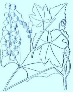 Frost Grape (Vitis bicolor)Artwork by ~ Jerilee Wei