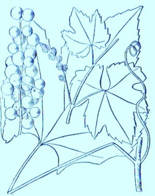 Frost Grape (Vitis bicolor)Artwork by ~ Jerilee Wei
