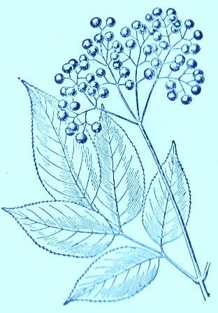 Elderberry (Sambucus canadensis)Artwork by ~ Jerilee Wei