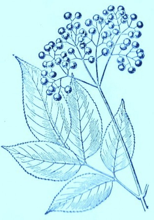 Elderberry (Sambucus canadensis)Artwork by ~ Jerilee Wei
