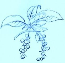 Wild Cherry (Prunus virginiana)Artwork by ~ Jerilee Wei