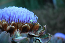 How to use Milk Thistle for health-