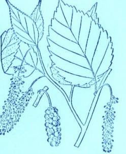Mulberry (Morus)Artwork by ~ Jerilee Wei