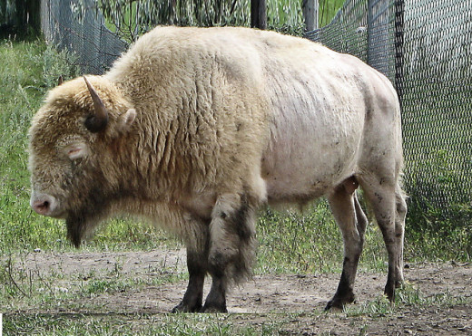 White Cloud, at the National Buffalo Museum at Jamestown