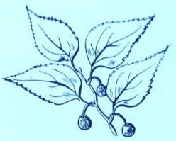 Hackberry (Celtis occidentalis)Artwork by ~ Jerilee Wei
