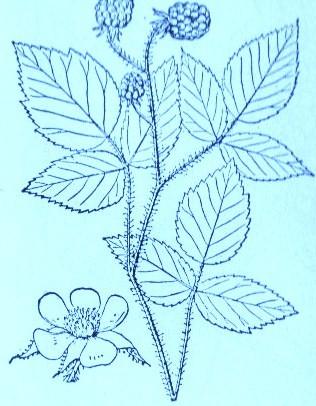 Wild Raspberry (Rubus strigosus)Artwork by ~ Jerilee Wei