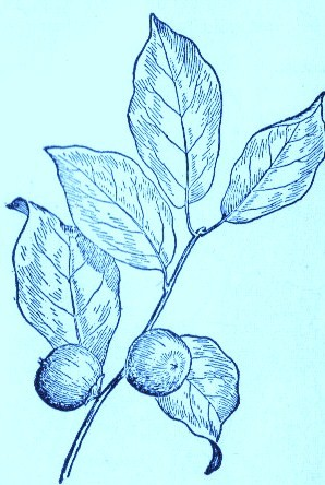 Persimmon (Diopyros virginiana)Artwork by ~ Jerilee Wei