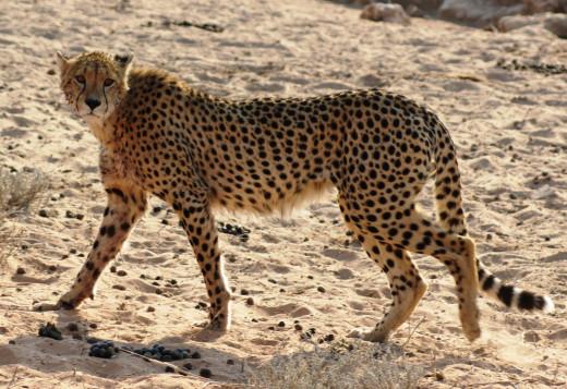 Cheetah in Kgalagadi