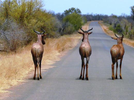 Red-hartebeest in Kruger