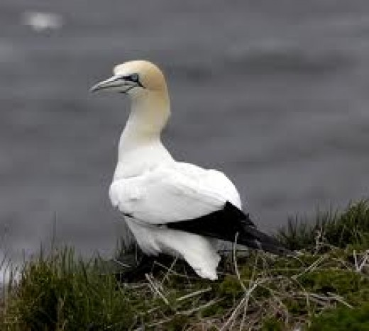 Ever heard of the phrase 'Greedy gannet'? This is the real thing, whereas...