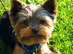 Yorkshire Terrier - is this a great small dog to purchase? Are they hard to train?