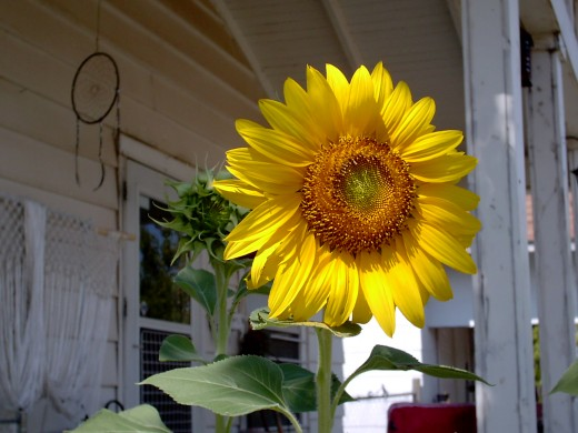 a sunflower of hope